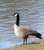 Canda Goose - On Guard