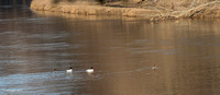 Evening Commute - 2 pair Common Merganser