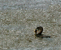 Pied-Billed Grebe feeding