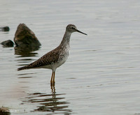 Lesser Yellowlegs?