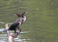 Double-headed cormorant(s)