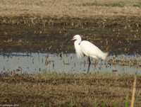 Cattle Egret - Hula Valley